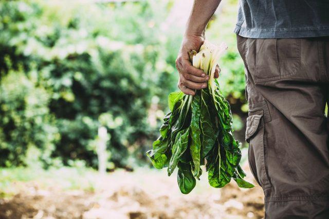 Mangold se dá vypěstovat na zahradě