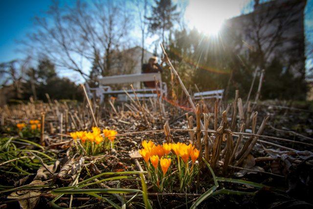 Krokusy v Botanické zahradě Tábor, jaro, květiny, slunce, počasí