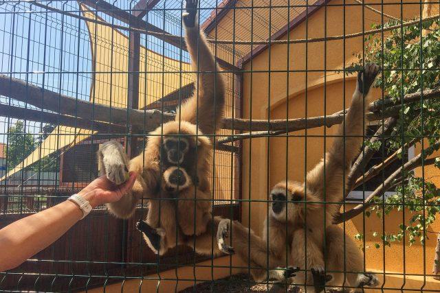 Rodinka opic gibon lar na ranči Bítovany na Chrudimsku