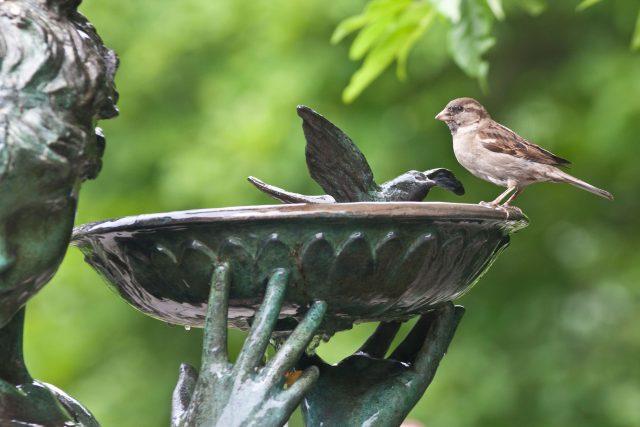 Vrabec pije z napajedla v parku