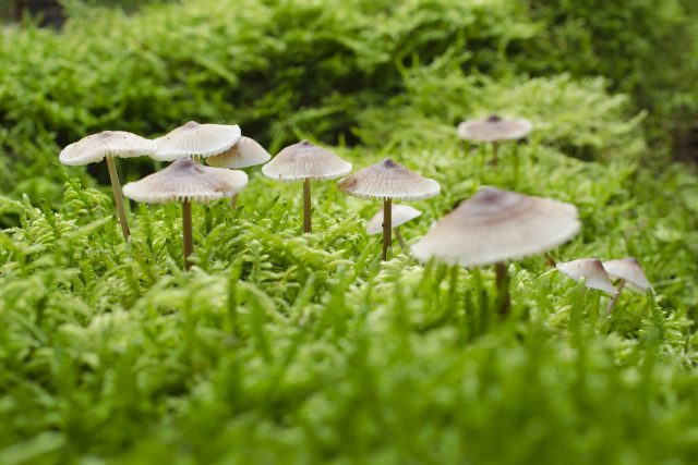 Helmovka zefírová je houba, která může ve tmě světélkovat