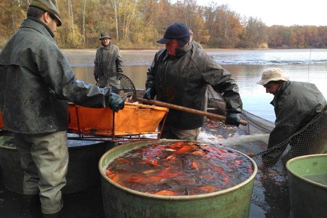 Třídění ryb při výlovu rybníka Hluboký