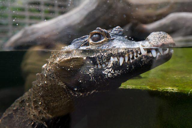 Krokodýl čelnatý  (ilustrační foto) | foto: Safari Park Dvůr Králové