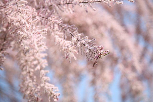 Květy tamaryšku vypadají jako cukrová vata