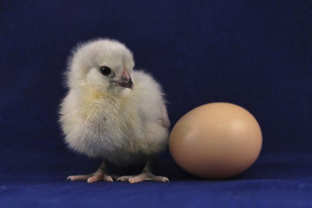 kuře,  kuřátko,  vejce,  vajíčko | foto: Unsplash,  CC0 1.0