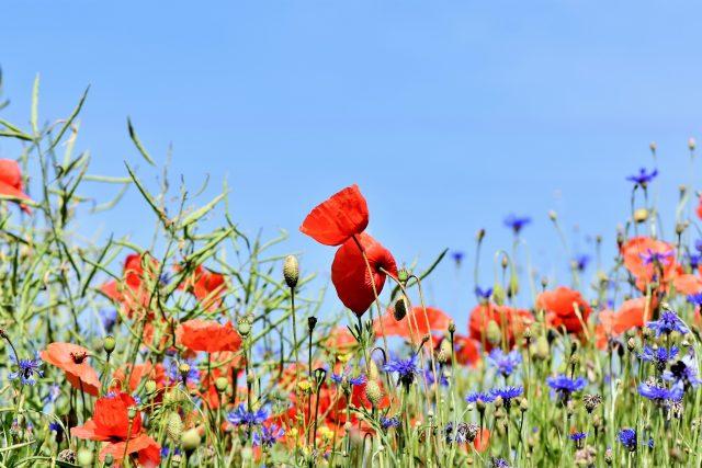Přírodní zahrada s loukou rozkvetlých květů | foto: Fotobanka Pixabay