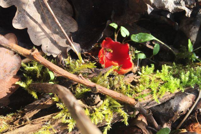 Ohnivec je velmi nápadná houba. Klobouky tvoří červené mističky,  které mají jeden až šest centimetrů v průměru | foto: Jitka Slezáková,  Český rozhlas