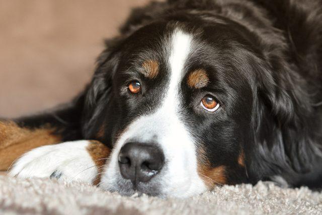 Pes (ilustrační foto)