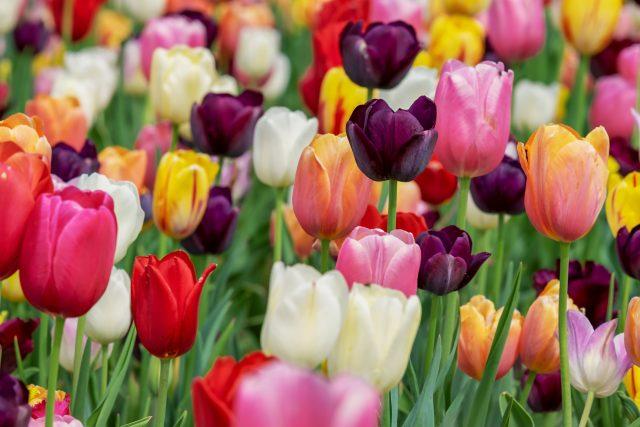 Tulipány  (ilustrační foto)   foto: Fotobanka Pixabay