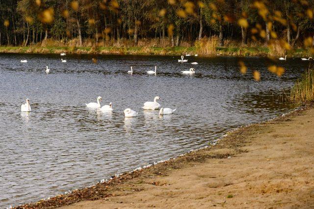 Desítky labutí se usadily na rybníku Rosnička u Svitav