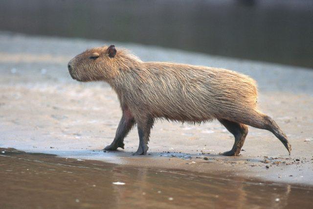 Kapybary mohou vážit až 80 kg | foto: Fotobanka Profimedia
