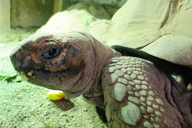 Sedmnáctiletý želví samec Forest