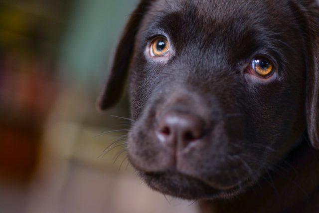 pes,  labrador,  štěně   foto: Pexels,  CC0 1.0
