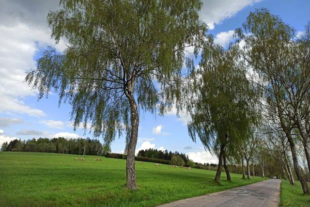 Břízy jsou typickým stromem pro Kameničky a okolí | foto: Lenka Adámková