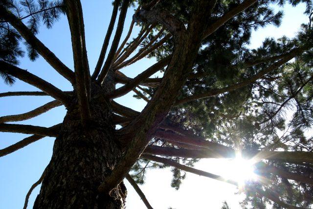 Pohled do koruny borovice černé v arboretu Hamzovy odborné léčebny v Luži