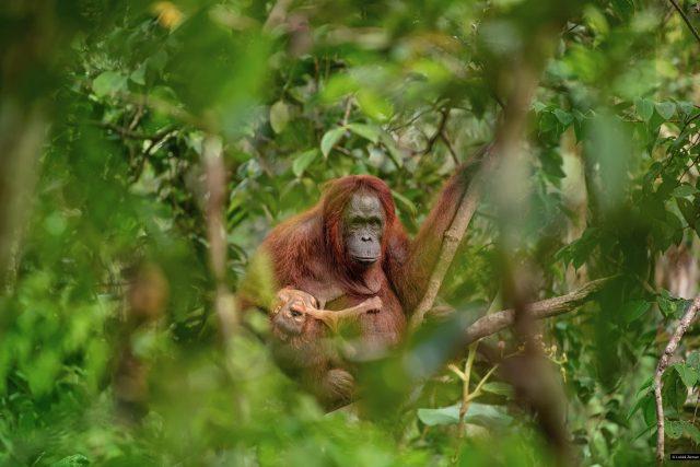 Fotografií roku 2018 a vítězem soutěže Czech Press Photo je snímek samice orangutana s umírajícím potomkem. Jeho autorem je Lukáš Zeman